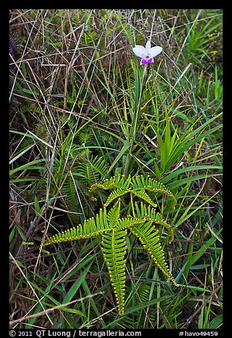 Fern and bamboo orchid (Arundina graminifolia). Hawaii Volcanoes National Park (color)