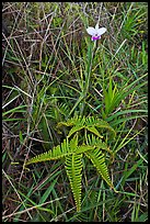 Fern and bamboo orchid (Arundina graminifolia). Hawaii Volcanoes National Park, Hawaii, USA. (color)