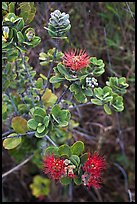 Ohia Lehua (Metrosideros polymorpha). Hawaii Volcanoes National Park, Hawaii, USA. (color)
