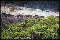 Uluhe ferns and sulphur bank. Hawaii Volcanoes National Park, Hawaii, USA. (color)