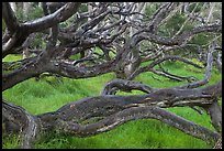 Forest of koa trees. Hawaii Volcanoes National Park, Hawaii, USA.