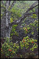 Ohia flowers and tree. Hawaii Volcanoes National Park, Hawaii, USA. (color)