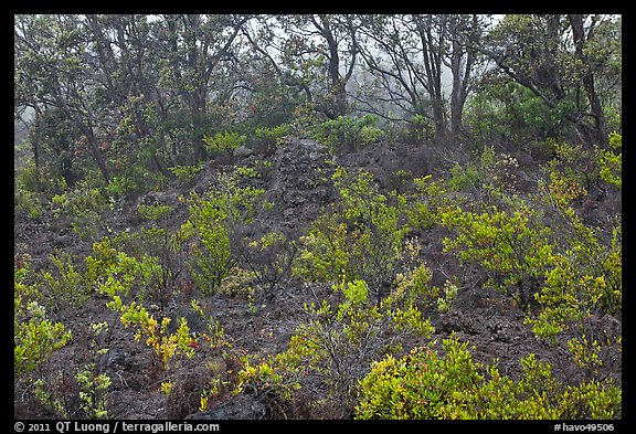 Shrub and trees growing over aa lava. Hawaii Volcanoes National Park (color)