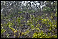 Shrub and trees growing over aa lava. Hawaii Volcanoes National Park, Hawaii, USA.