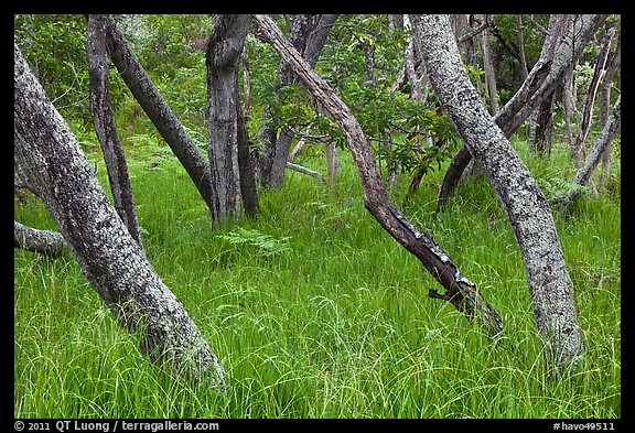 Dryland forest along Mauna Load Road. Hawaii Volcanoes National Park, Hawaii, USA.