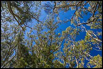 Looking up forest of koa trees. Hawaii Volcanoes National Park, Hawaii, USA. (color)