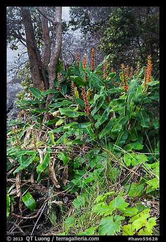 Kahil Ginger plants on rim of Kilauea Iki crater. Hawaii Volcanoes National Park (color)