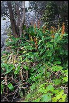 Kahil Ginger plants on rim of Kilauea Iki crater. Hawaii Volcanoes National Park ( color)