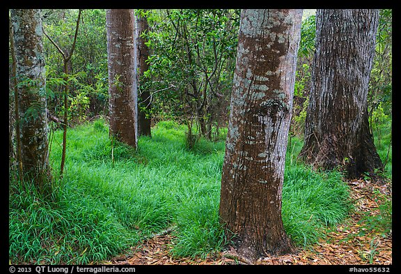 Old-growth forest of koa on kipuka. Hawaii Volcanoes National Park (color)