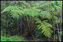 Giant ferns in Kipuka Puaulu old growth forest. Hawaii Volcanoes National Park, Hawaii, USA. (color)