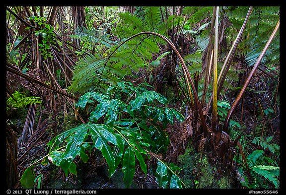 Giant tree ferns glistering with rainwater. Hawaii Volcanoes National Park (color)
