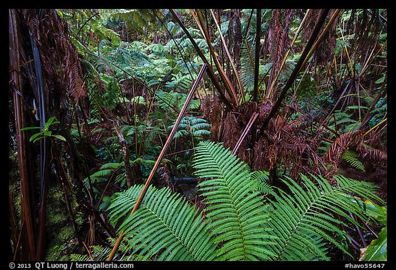 Ferns in lush rainforest. Hawaii Volcanoes National Park (color)