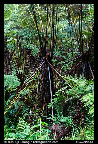 Hawaiian Tree Fern (Cibotium menziesii). Hawaii Volcanoes National Park (color)