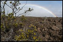 Ohelo shrub, lava field, and rainbow. Hawaii Volcanoes National Park, Hawaii, USA. (color)