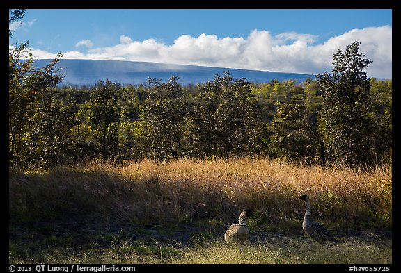 Nene birds and Mauna Loa. Hawaii Volcanoes National Park (color)
