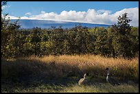 Nene birds and Mauna Loa. Hawaii Volcanoes National Park, Hawaii, USA. (color)