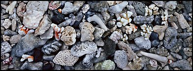 Close-up detail of beached coral, Tau Island. National Park of American Samoa (Panoramic color)