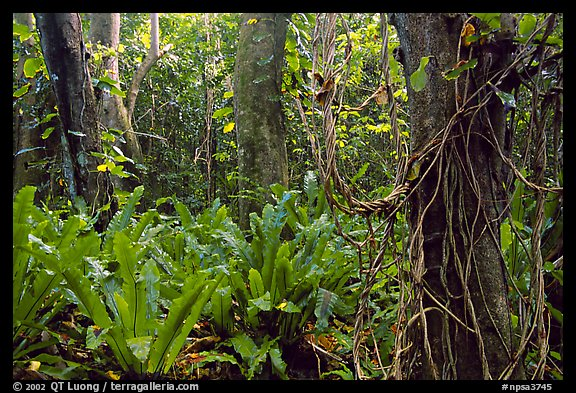 Ferns in coastal paleotropical rainforest near Saua, Tau Island. National Park of American Samoa (color)