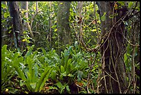 Ferns in coastal paleotropical rainforest near Saua, Tau Island. National Park of American Samoa