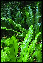 Ferns in coastal paleotropical rainforest, Tau Island. National Park of American Samoa (color)