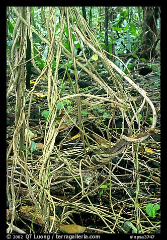 Lianas in coastal paleotropical rainforest, Tau Island. National Park of American Samoa (color)