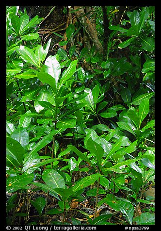 Tropical leaves,  Tutuila Island. National Park of American Samoa