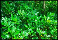 Leaves in tropical forest, Tutuila Island. National Park of American Samoa