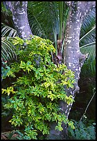 Tropical tree trunk, Tutuila Island. National Park of American Samoa (color)