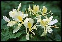 Tropical yellow flower, Tutuila Island. National Park of American Samoa (color)