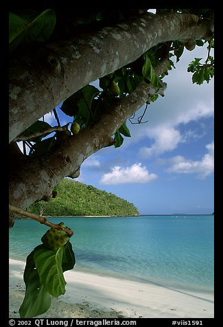 Noni tree (Morinda citrifolia) and beach, Maho Bay. Virgin Islands National Park (color)