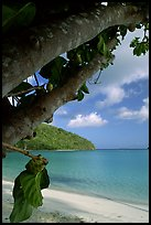 Noni tree (Morinda citrifolia) and beach, Maho Bay. Virgin Islands National Park, US Virgin Islands. (color)