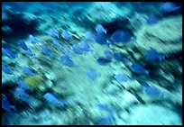 School of blue fish underwater. Virgin Islands National Park, US Virgin Islands. (color)
