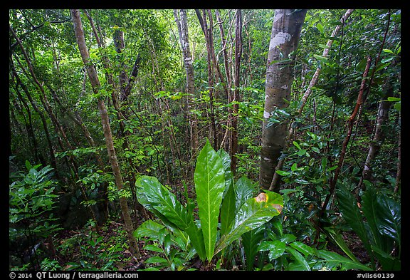 Moist sub-tropical forest, Reef Bay Valley. Virgin Islands National Park (color)
