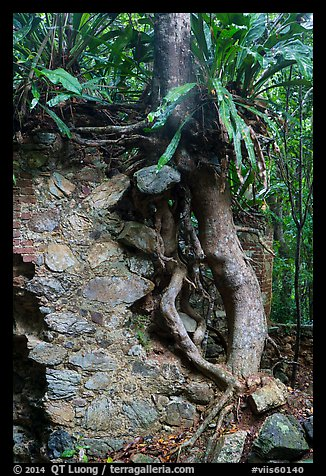 Tree growing on ruined wall, Josie Gut Sugar Estate. Virgin Islands National Park (color)