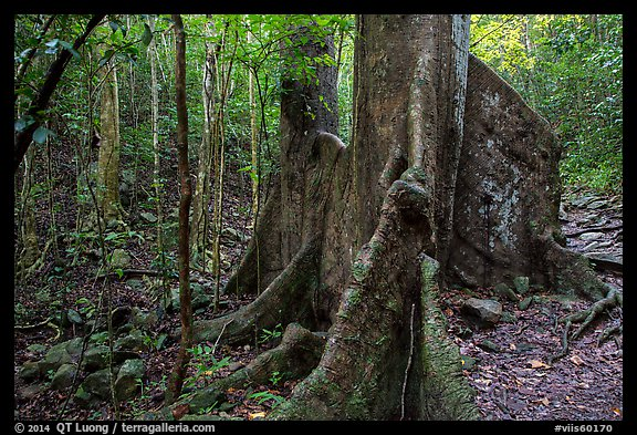 Kapok tree. Virgin Islands National Park (color)
