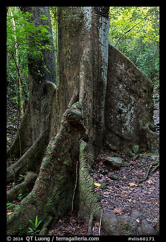 Buttresses of kapok tree. Virgin Islands National Park (color)