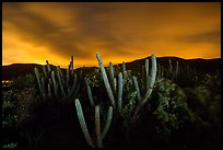 Cactus from Yawzi Point at night. Virgin Islands National Park, US Virgin Islands.