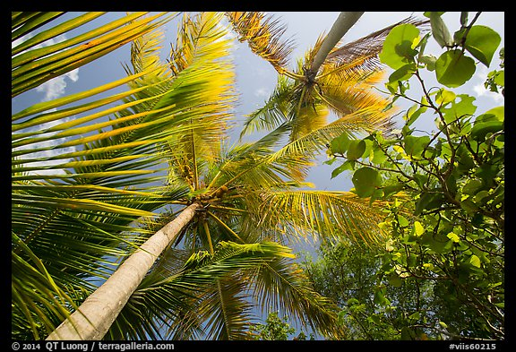 Looking up palm trees. Virgin Islands National Park (color)