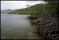 Mangrove shore, Round Bay. Virgin Islands National Park, US Virgin Islands. (color)