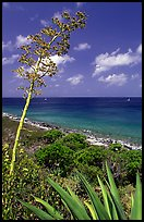 Agave and tall flower on Ram Head. Virgin Islands National Park, US Virgin Islands. (color)