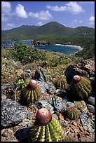 Cactus on Ram Head. Virgin Islands National Park, US Virgin Islands. (color)