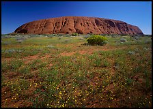Flowers and Ayers Rock. Uluru-Kata Tjuta National Park, Northern Territories, Australia ( color)