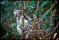 Koala in natural environment. Australia ( color)
