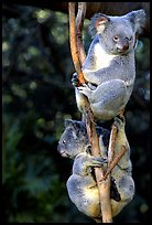 Two koalas. Australia ( color)