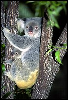 Koala with cub. Australia ( color)