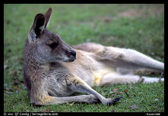 Kangaroo laying on its side. Australia (color)