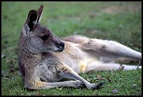 Kangaroo laying on its side. Australia