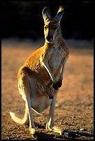 Female Kangaroo with joey in pocket. Australia ( color)