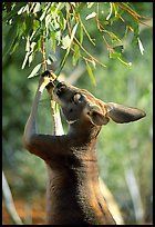 Kangaroo reaching for leaves. Australia