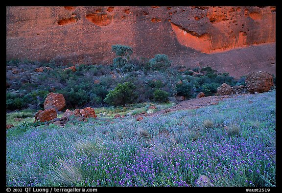 Blue flowers at the base of the Olgas. Olgas, Uluru-Kata Tjuta National Park, Northern Territories, Australia (color)